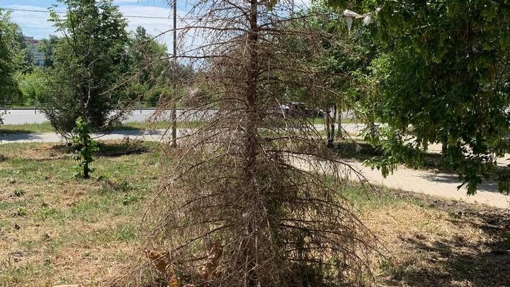 Мэру объяснили, почему засохшие деревья пока не заменят в Калининском районе Челябинска