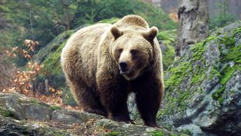 В Петропавловске-Камчатском заметили медведя, гуляющего по улицам