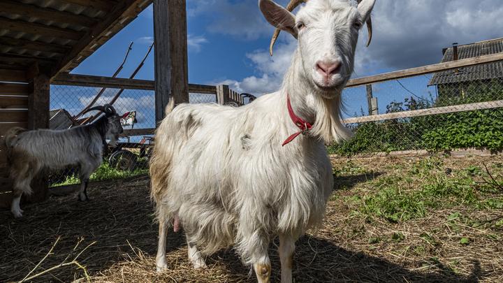 В деревне под Серпуховом взбесились козы