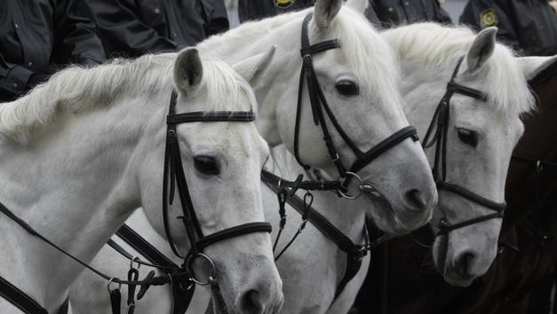 Людям еще повезло с макарошками: Служебных лошадей в полиции Саратова довели до истощения