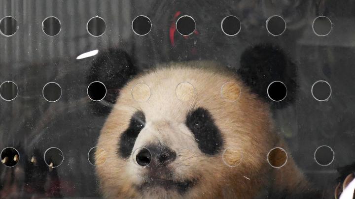 В Сочи проверят законность фотографий с детенышем панды