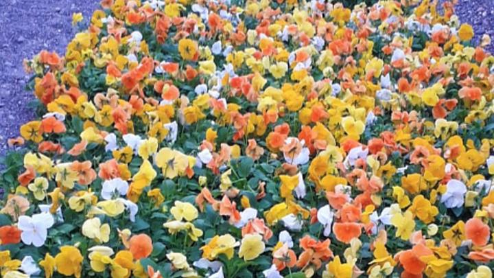 На сочинских клумбах высадят устойчивые к холодам цветы