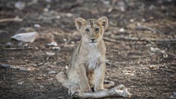 В зоопарке Владивостока юную львицу подружили со щенком