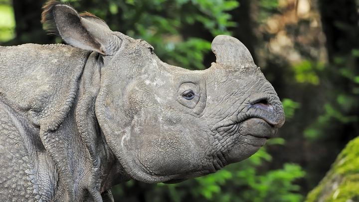 В Индии 42 года собирали рога носорогов, чтобы сжечь в один день
