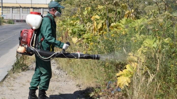 В Иванове борщевик уничтожают гербицидами