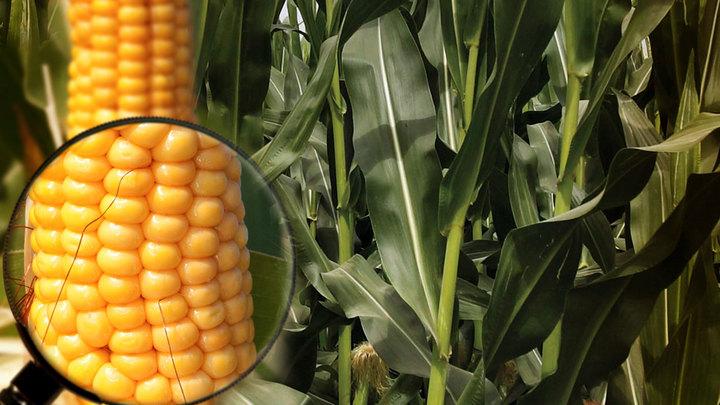 В Европе вновь настаивают на свободе от ГМО