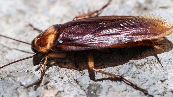 Уничтожить не способны Учёный раскрыл секрет неубиваемости тараканов