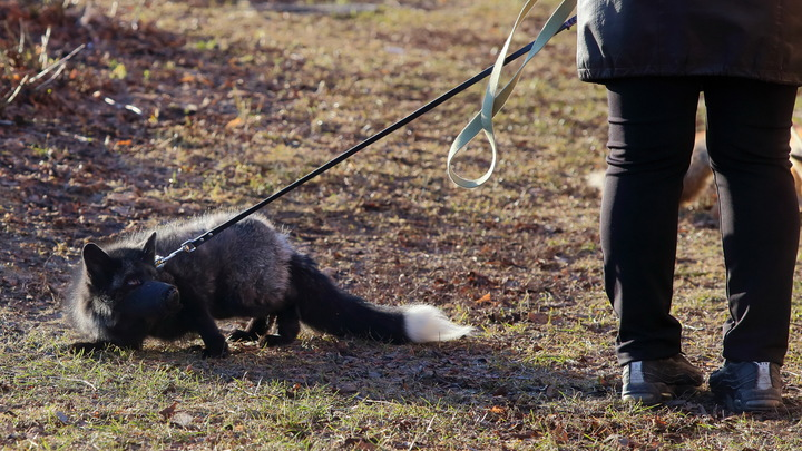 В Челябинской области чернобурая лисица завела Instagram