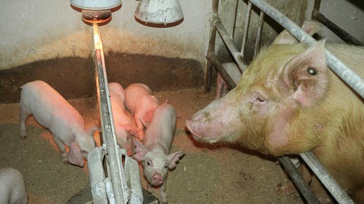 В Волжском районе Самарской области из-за африканской чумы будут изымать животных
