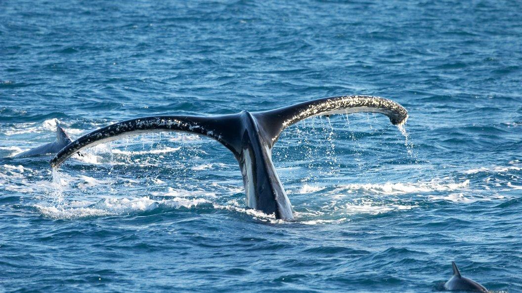 На помощь застрявшему киту под Хабаровском отправили вертолет МЧС