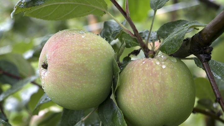 В каждой третьей баночке: Роскачество нашло пестициды в детском яблочном пюре