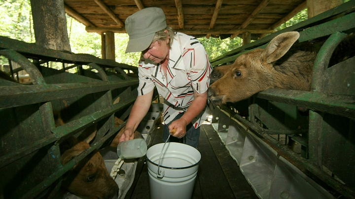 В молоке гной - ничего страшного: Минсельхозу задали неудобный вопрос