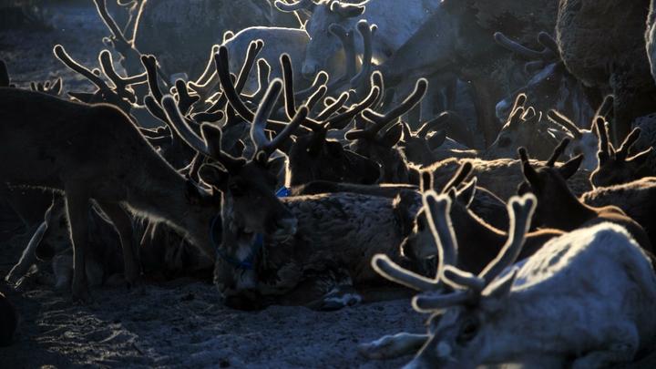 В естественной среде обитания: На Ямале откроют первый арктический зоопарк
