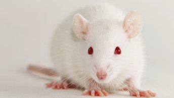 По стопам Дракулы: Американские ученые омолаживают крыс кровью подростков