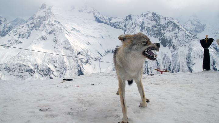 Жестокая расправа над волком на охоте привела к отставке депутата в Кургане