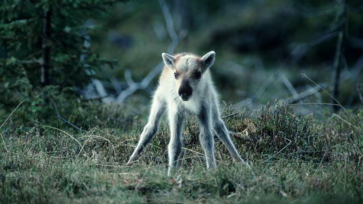 Не в силах молчать: В ижевском зоопарке раскрыли, как тысячи людей убили северного олененка
