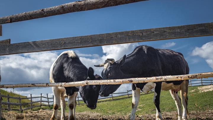 Коровы в Московской области с начала года произвели около 350 тысяч тонн молока
