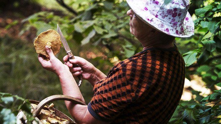 Боровичок-налоговичок: На ягоды и грибы введут новый побор