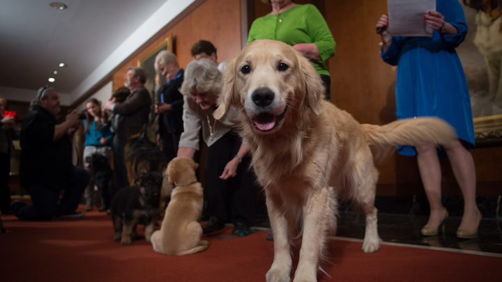 Фото: Хозяев изумил щенок золотистого ретривера зеленого цвета