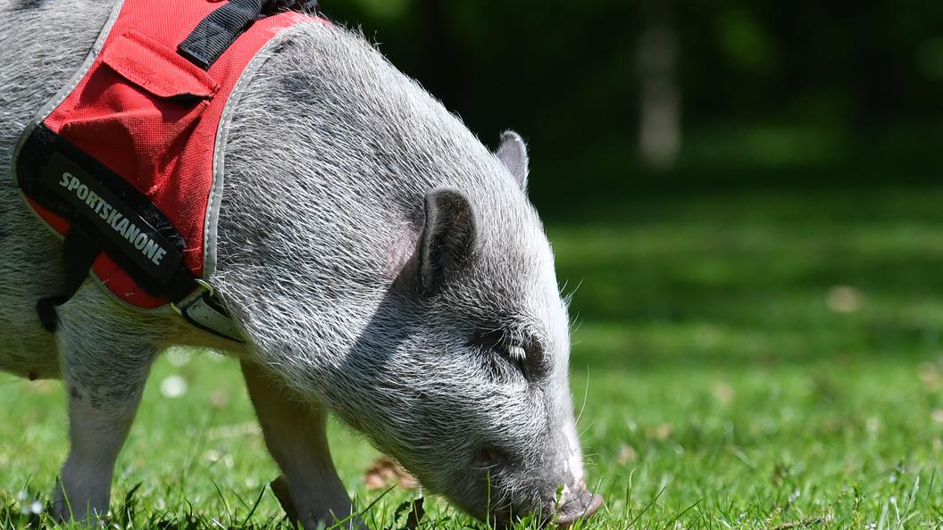 Китайские ученые с помощью роботов создали клоны свиней