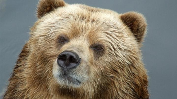 Эксперты видят в ЧП в зоопарке Челябинска диверсию, отравить медведей сложно