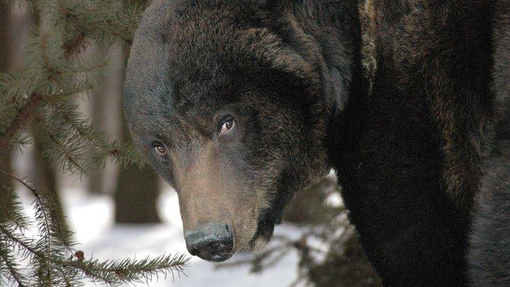 Американцы в панике сдались русскому медведю на стадионе