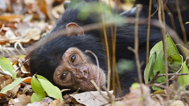 Тайну возникновения опасного вируса помог разгадать убитый более ста лет назад шимпанзе