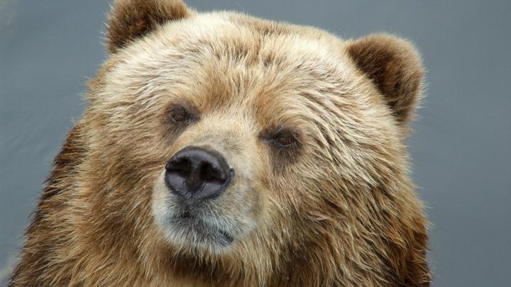 В карантин медведи сами пришли к Маше: В США трое косолапых вломились в частный дом