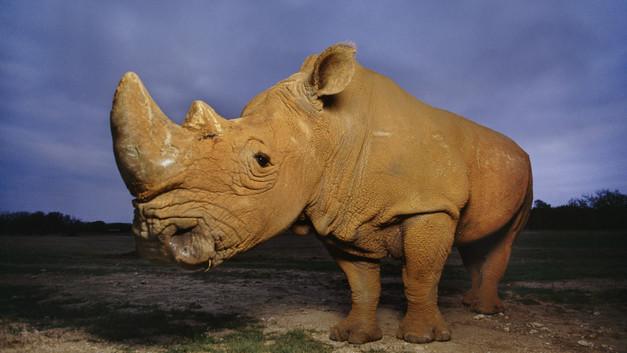 Ученые рискнут клонировать белого носорога для спасения его биологического вида