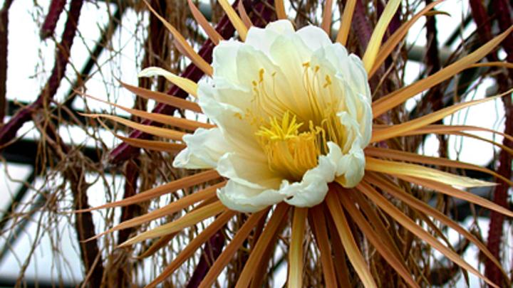 Царица ночи в Ботаническом саду Петербурга поставила рекорд по цветению - фото