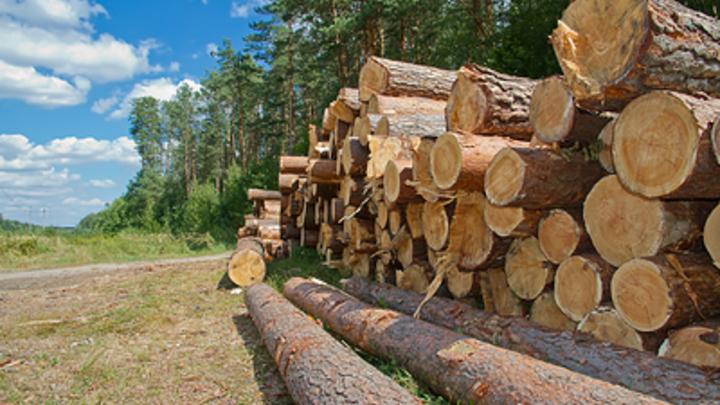 В Хилокском районе банда бывших зэков незаконно валила и продавала лес