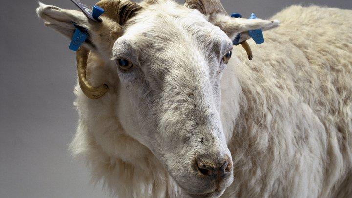 Британские учёные ищут убийцу клонированной овечки Долли