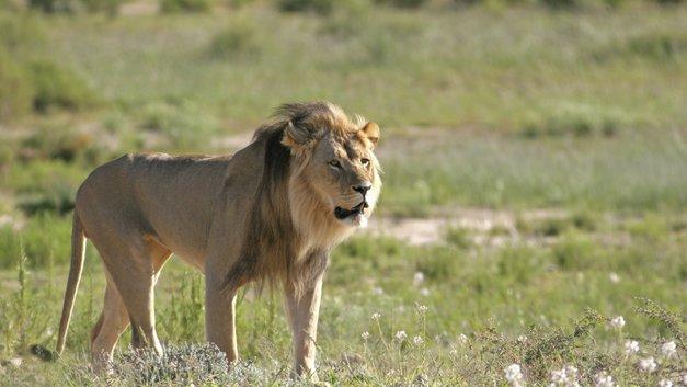 Стая львов наказала браконьеров, устроивших охоту в заповеднике