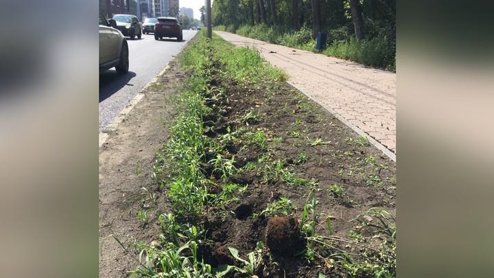 В центре Челябинска мародеры выкопали кусты кизильника