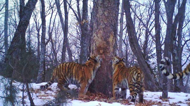 В приморском нацпарке «Земля леопарда» впервые зафиксированы тигрица и трое тигрят