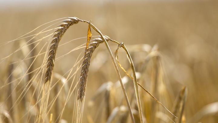 Не оружием единым: Россия накормит Венесуэлу своей пшеницей