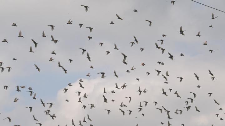 Не можем же истребить всех: Минтранс расписался в своей беспомощности против птичьей угрозы