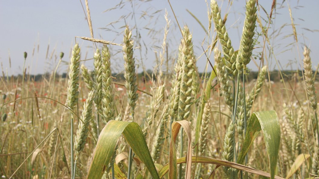 РФ в2018—2019 сельхозгоду произведет 72 млн тпшеницы— Минсельхоз США