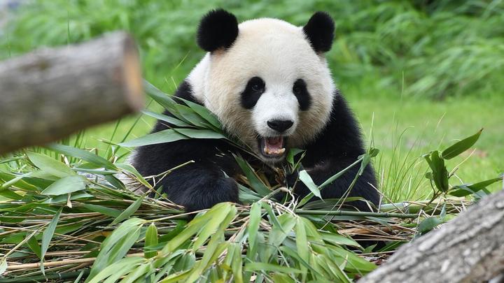 Старейшая панда мира умерла в неволе, прожив в два раза дольше вольных ровесников