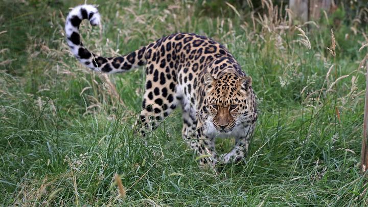 Амурских леопардов будут сохранять в новом центре в Приморье