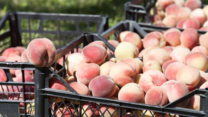 На российские рынки попали зараженные яблоки из Сербии