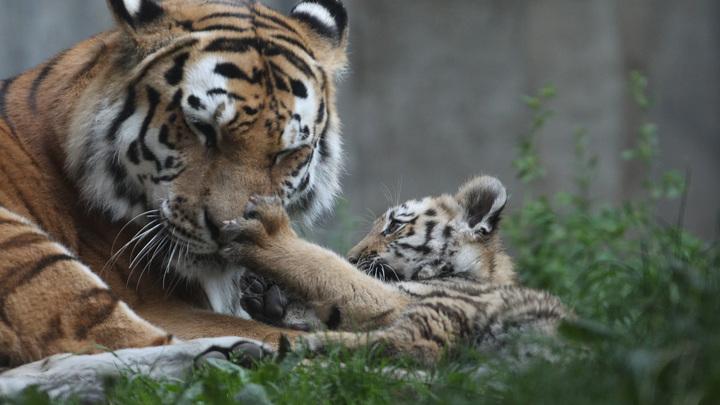 В Приморье выросла популяция редчайших хищников планеты - амурских тигров