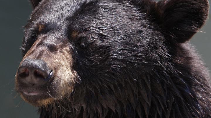 Охотники застрелили медведя, пришедшего учиться в Красноярском крае
