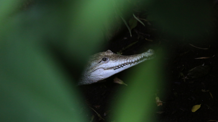 Пусть бегут неуклюже: В Китае из зоопарка сбежали 78 детенышей крокодилов