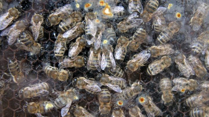 Улей на миллион: В США пчелы стоимостью в млн долларов погибли в аварии