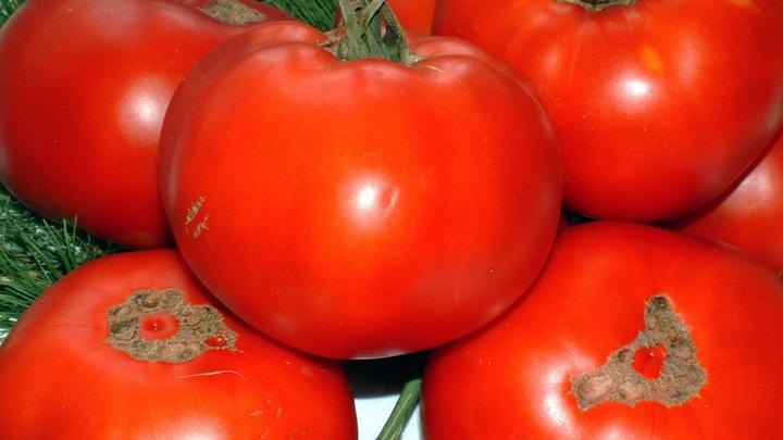 Первые томаты сорта Bandita прибыли из Турции в Россию