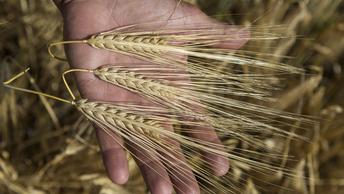 Радиационные спекуляции российских СМИ взвинтили цену на дешевеющее зерно США