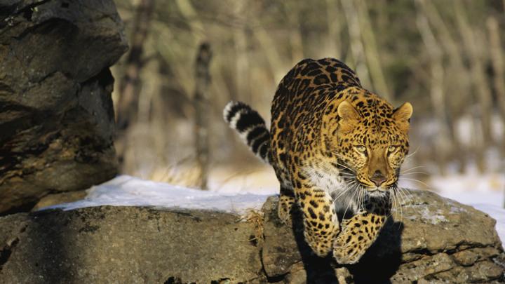 Амурский тигр и леопардесса попали на видео в одном гроте