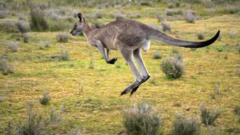 Как разнять дерущихся кенгуру: Австралиец снял вирусное видео