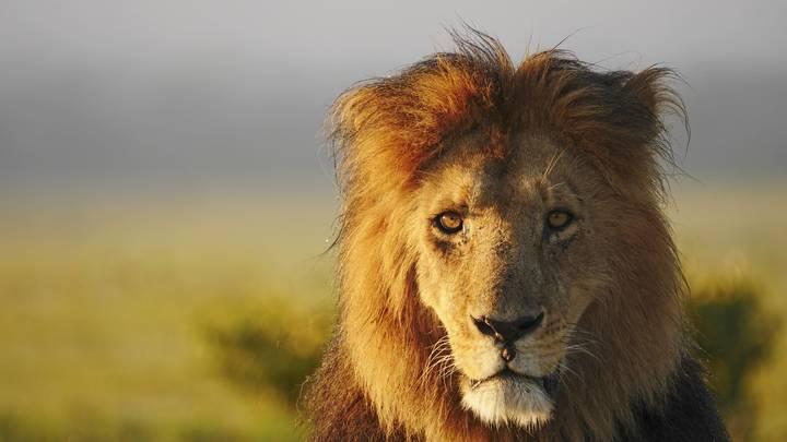 Льву мяса не докладывают: В Дании короля всех зверей будут кормить домашними питомцами